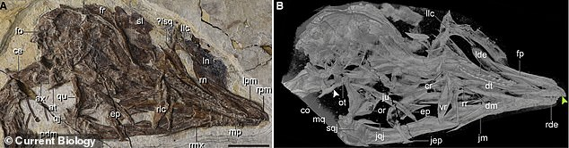 The cranial anatomy of the species.  Y. kompsoura belonged to an extinct group called Enantiornithines, which looked like modern birds except they had teeth and clawed fingers on each wing