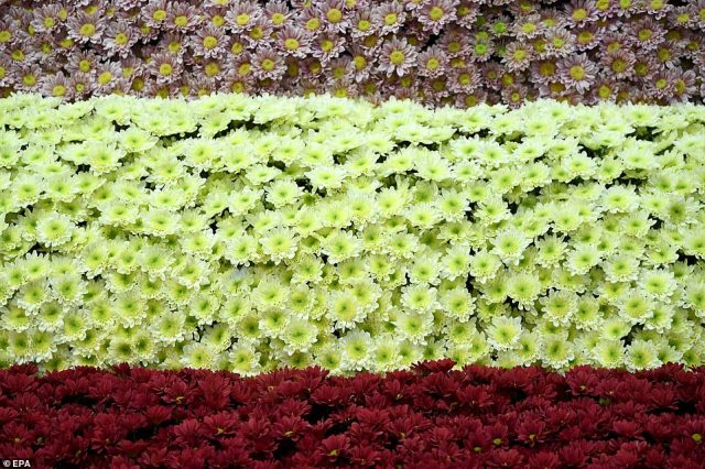 Curtains of pink, yellow and redChrysanthemums were also used abundantly at the show which celebrates horticulture, pictured