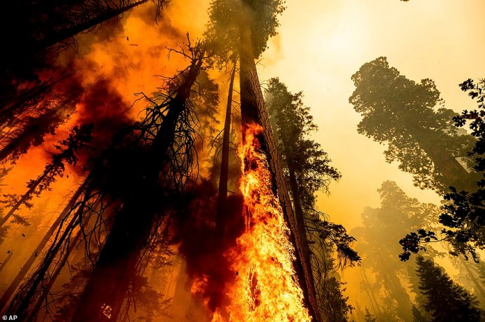 Flames lick up a tree as the Windy Fire burns in the Trail of 100 Giants grove in Sequoia National Forest on Sunday