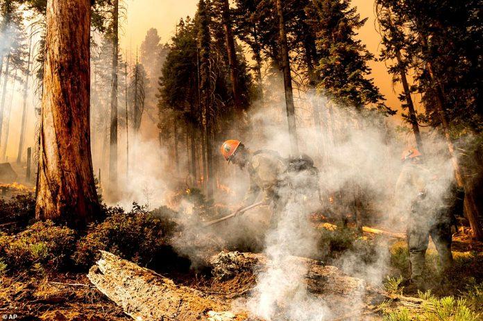 Firefighter Aidan Hart battles the Windy Fire as it burns in the Trail of 100 Giants grove
