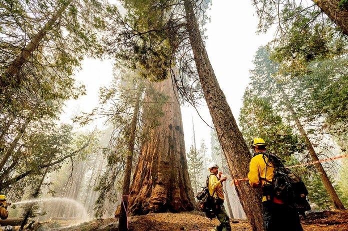 Line safety director Joe Labak marks a falling branch hazard in the Trail of 100 Giants. Labak said the sequoia at center sustained fire damage when the fire spotted into its crown