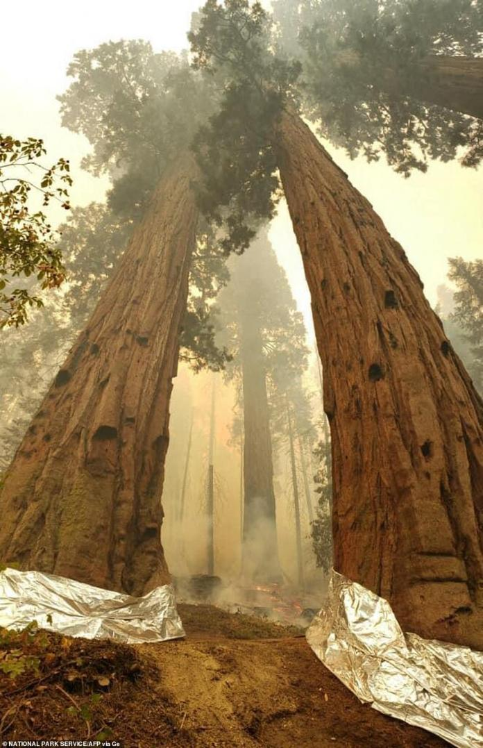 """Smoke rises around sequoia trees, the bases of which have been wrapped with protective structural wrap, in the """"Four Guardsmen"""" area of the Giant Forest"""