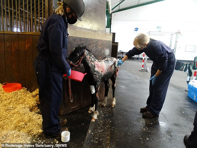 It is understood that Kent Police were informed of the alleged arson incident but no arrests were made. Pictured: Phoenix is looked after by staff at the horse sanctuary