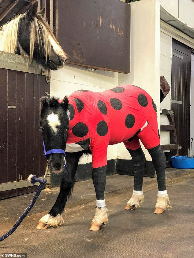 The young horse's body (pictured in ladybird bandages) was burnt to a crisp in a 'barbaric' and 'cruel' alleged arson attack in Ash, near Sevenoaks, in Kent at around 10.15pm on August 3