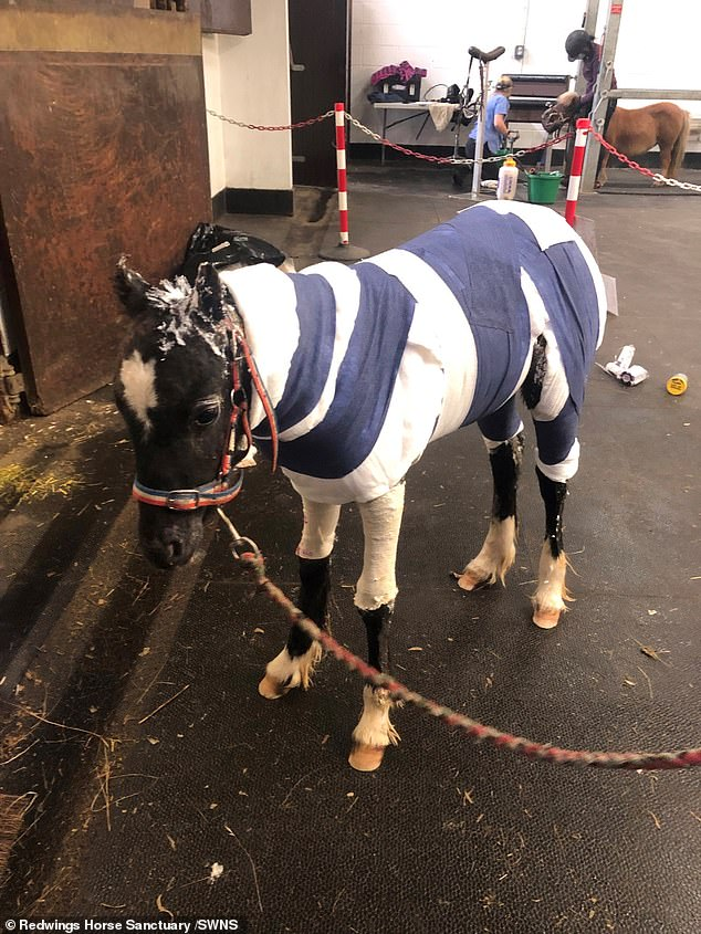 The alleged arson attack was described as 'barbaric' by Nic de Brauwere, head of welfare and behaviour at Redwings. Pictured: Phoenix covered in bandages at the sanctuary