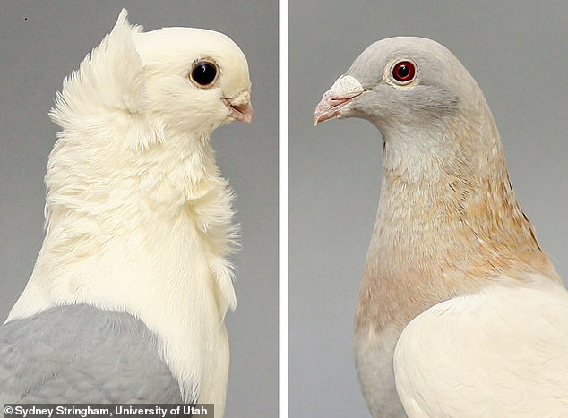 Old German Owl (left) and Racing Homer (right) - domestic pigeon breeds that researchers bred to study