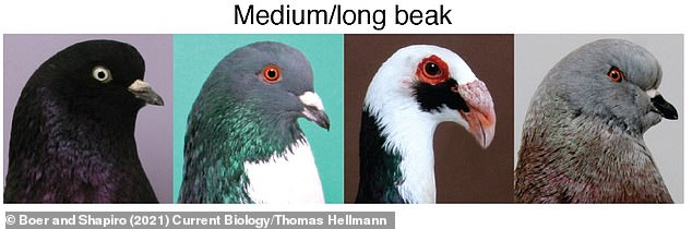 Painted, medium or long beaked pigeon breeds, from left to right - West of England, Cachois, Scandaroon, Show King