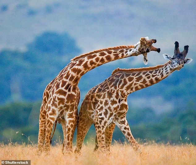 In a respectable example of fair play, giraffe males exercise head butts with males of similar stature, reports the University of Manchester.  In the picture, two giraffes walk over each other in a head-to-head position