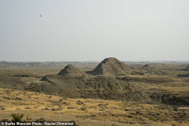 The discovery was made in Montana's Hell Creek Formation, where many dinosaur fossils have been discovered over the years.