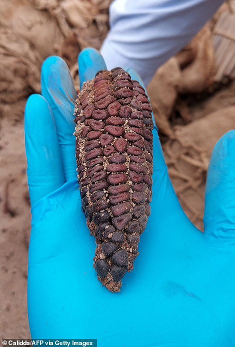 This Ancient Purple Corn Kernels Was Found With Carcasses