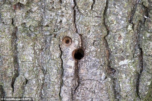Another hole drilled into the trees.Bournemouth, Christchurch and Poole Council has warned that the perpetrator could be prosecuted for criminal damage