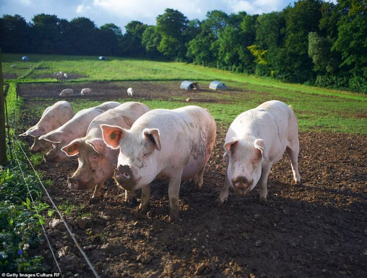 The Yorkshire stockman, who has not been named, took the drastic measure because they were not killing the animals fast enough (file photo)