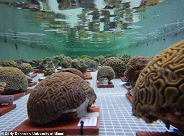 About 2,000 colonies of coral were removed from Dry Tortugas National Park west of the Florida Keys and are now being treated at 20 institutions in 14 states.