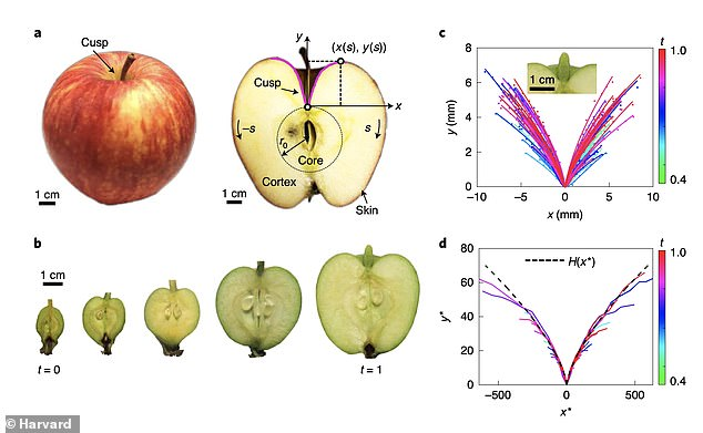 Mathematical models showed that the underlying fruit anatomy, the way it grows at different rates, and mechanical instability, play a combined role in the emergence of dimples, lower ridges and the general shape of the fruit.