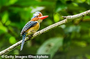 Beauty: A banded kingfisher at Khao Yai National Park in Thailand