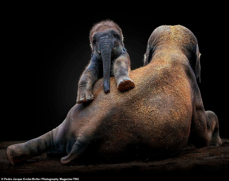 Another of Krebs' shots - this of a playful baby Asian elephant sitting on its mother's back - also picked up a Gold Award in the Revealing Nature category