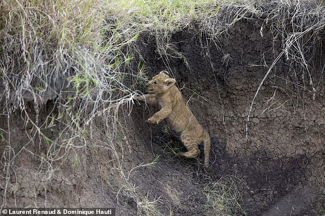 , Mum to the rescue! Moment lioness saves her cub from plunging down into a watering hole in Kenya, The Today News USA