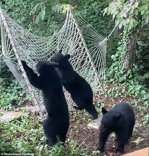 The two bear cubs then tried to work together to get onto the hammock while the other watched on