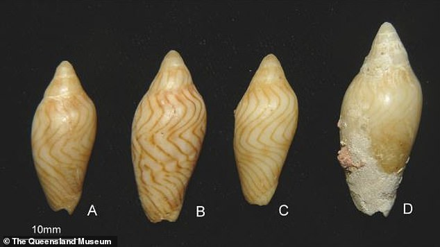 Called Amoria thore, the creature is part of the carnivorous Volutidae family of sea snails and is a new species of Amoria, a type of mollusk with a wavy shell meaning it has a wavy shell.