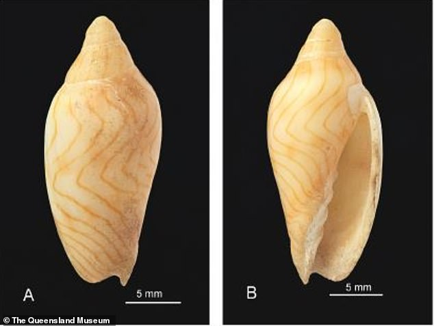 A museum builder at the Queensland Museum in Australia discovers a previously unknown mollusk with an appetite for meat