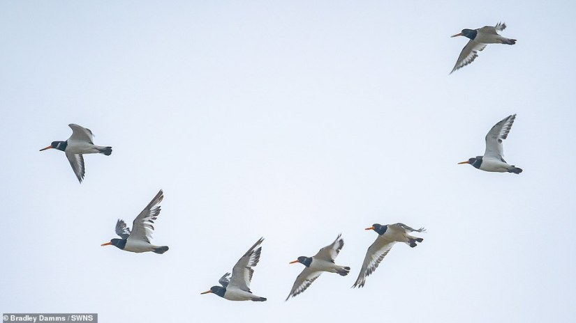 The small birds mimic each other which creates a ripple effect among the flock and keeps them together in one large shape.