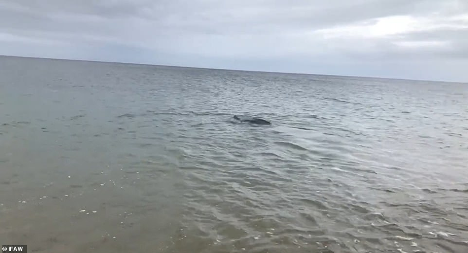 , Massive 600 pound leatherback turtle returned to the ocean after it got stuck in a Cape Cod river, The Today News USA