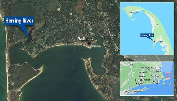 The 5-foot long turtle became stuck in the Herring River in Wellfleet, Massachusetts on Sunday. It was returned to the Atlantic Ocean in Provincetown