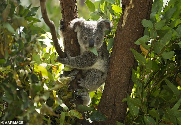 , Watch as a 'cute and cuddly' koala bursts into its terrifying mating call, The Today News USA