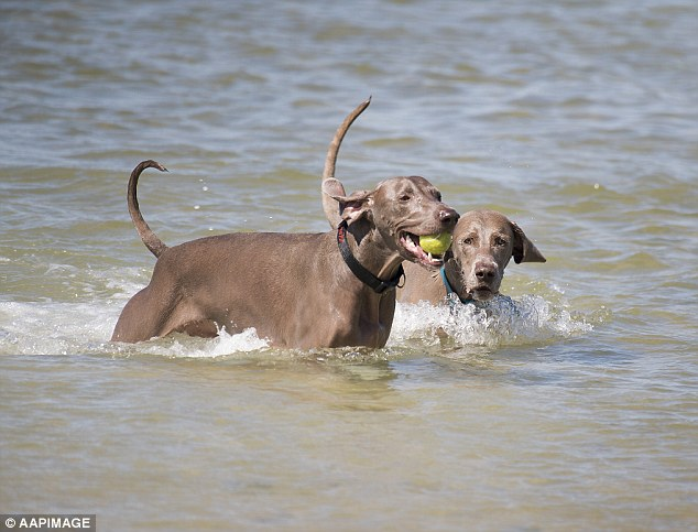 Two dogs play with a tennis ball in the sea. Brisbane will see highs of 30 degrees with the remnants of tropical cyclone Linda causing dangerous surf and high tides along the Queensland coast
