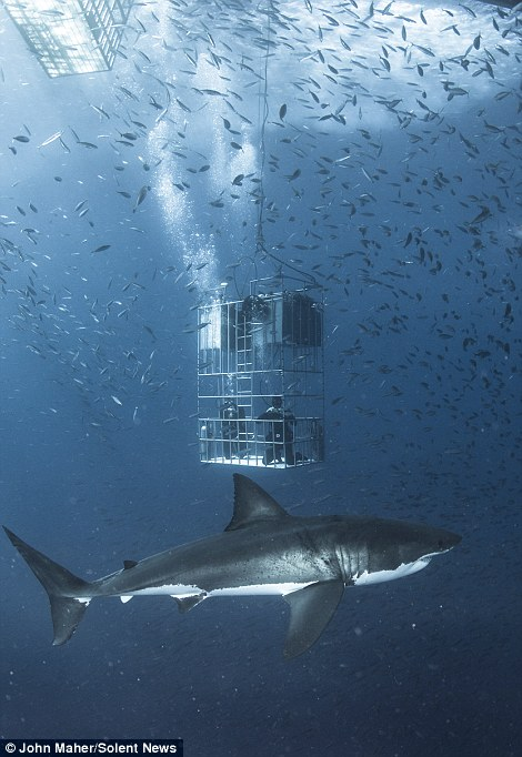 Shark Cages Sharks Great White