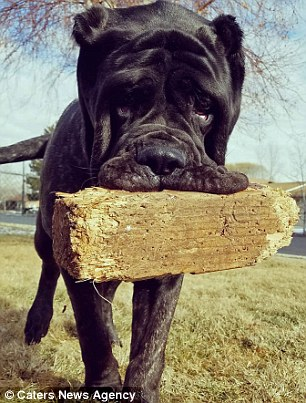 At nine months old, enormous Euphrates eats eight cups of a dog food a day and plays with a 4x4 piece of fence post