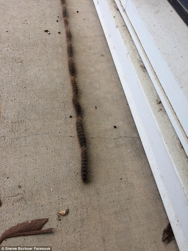 Processionary caterpillars, which turn into the bag-shelter moth, can be extreme harmful to wildlife. For instance, they can cause miscarriages in mares