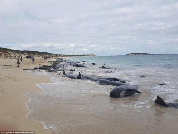 Parks and wildlife incident controller Jeremy Chick said the main priorities were to ensure the welfare of the remaining live whales and the safety of everyone involved