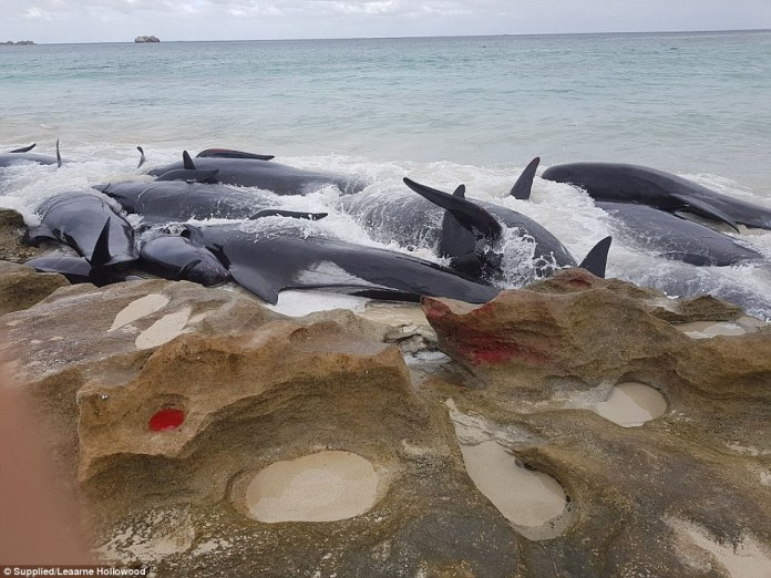 More than 150 whales are stranded and 75 are estimated to be dead on Hamelin Bay, 10km north of Augusta on the Western Australia coast