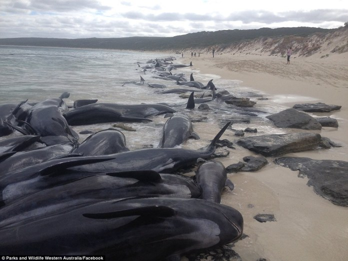 The whales were spotted by distressed locals who captured images of the stranded animals washed up on the picturesque coastal waters