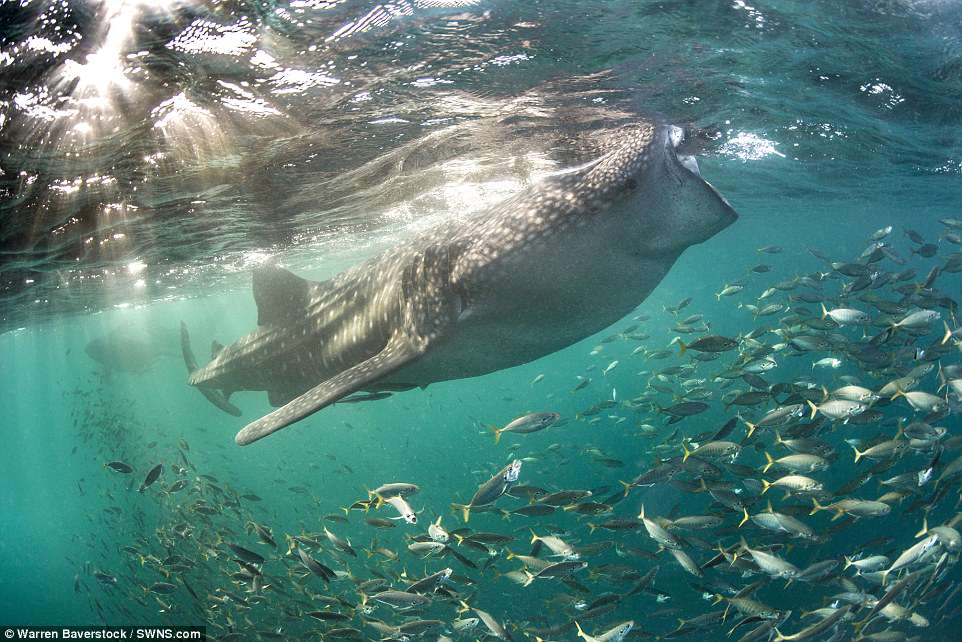 On the third night a whale shark approached, but when Warren got into the water with his camera kit, it moved away. He jumped in and waited for more than an hour, hoping it would return