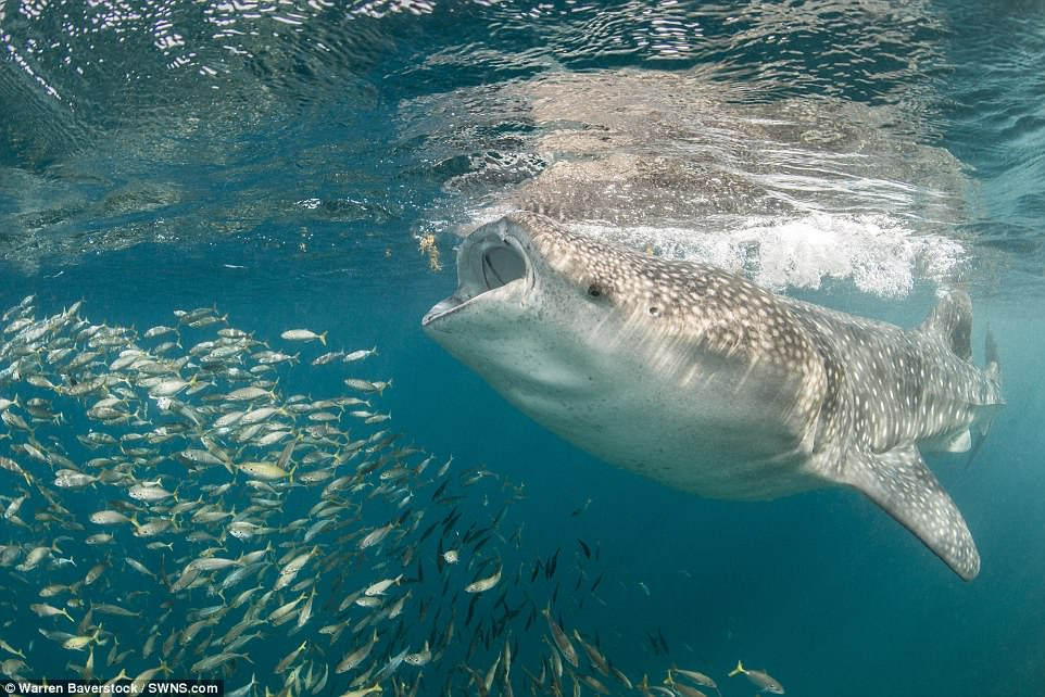 Warren, director of Aquarium Operations at the Burj Al Arab Hotel in Dubai, took the photos during his fifth trip to study whale sharks in Djibouti, on the Horn of Africa. He said: 'Just getting the whale shark was totally amazing'