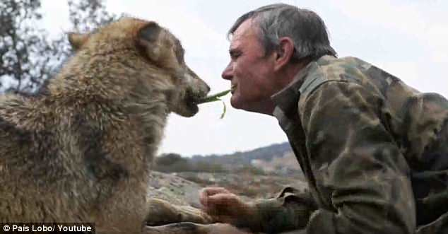 Marcos Rodríguez Pantoja was adopted by a pack when he was stranded in Spain 's Sierra Morena mountain range aged seven