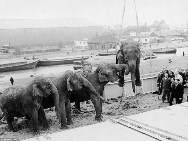 Four elephants return from a Chipperfield's Circus tour of South Africa at South West India Docks near Silvertown in 1968