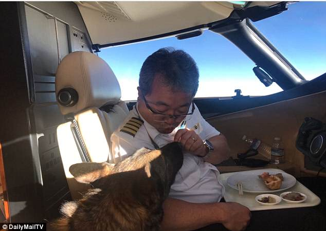 First-class meal: The four-legged furry friend experienced the royal treatment and was seen eating in the cockpit with the pilot