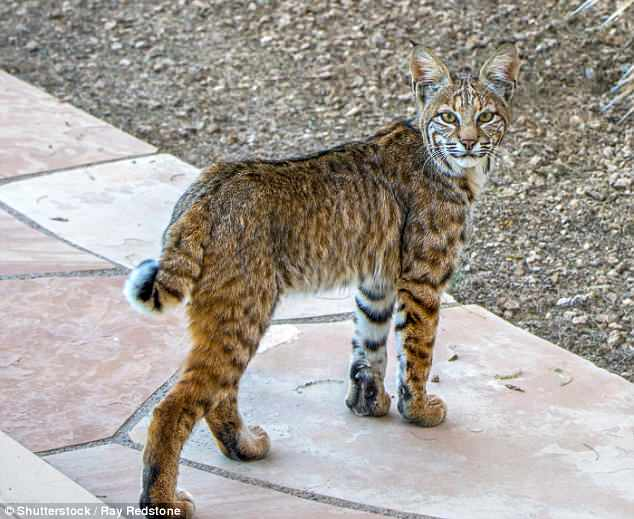 Our cities are 'powerhouses of evolution' where animals are adapting to their environment at 'unprecedented speeds'. For instance, bobcats in Hollywood have evolved to be genetically different from those living north of the 101 freeway