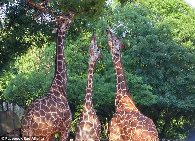 The other members of Zuberi's herd (pictured), adult males Abu, 12, Etana, six, and Isooba, six, are behaving normally following the loss of their herd member, according to the statement.Zuberi's herd does not have have access to the area where the incident occurred