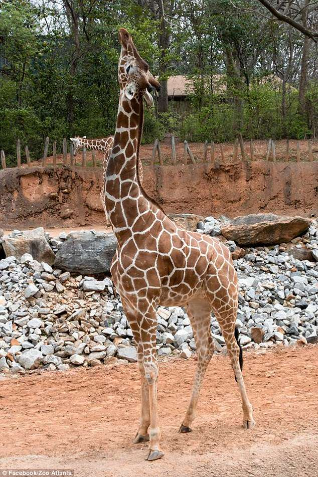 Zuberi (pictured), an eight-year-old adult male reticulated giraffe, died Monday at Zoo Atlanta