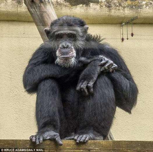 Se descubrió que muchos chimpancés mantienen sus camas más limpias que la mayoría de los adolescentes humanos.