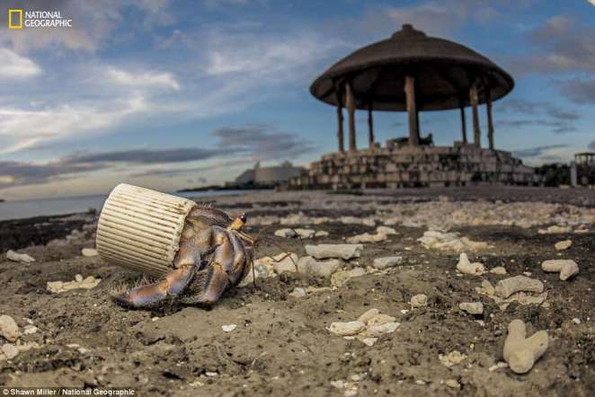 On Okinawa, Japan, a hermit crab resorts to a plastic bottle cap to protect its soft abdomen. Beachgoers collect the shells the crabs normally use, and they leave trash behind