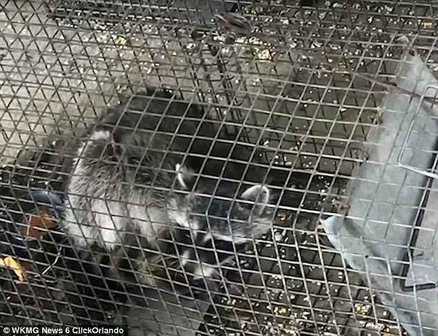 The mother said that Brewton decided to kill the raccoons because it ate a chicken that the class had been raising