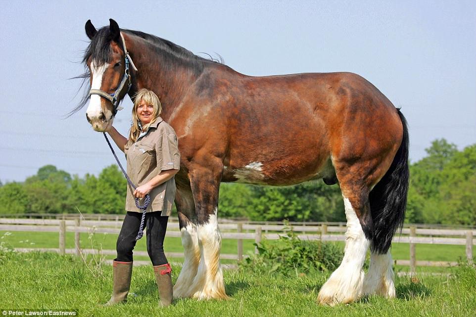 From his lofty position in the field, Duke has become used to looking down on his horse refuge friends. In fact the Shire horse stands so high at 19 hands and three inches (6ft 7in) that he is thought to be Britain's biggest equine. He towers over his 5ft 5in owner Sara Ross, who runs The Horse Refuge in Finchingfield near Braintree in Essex