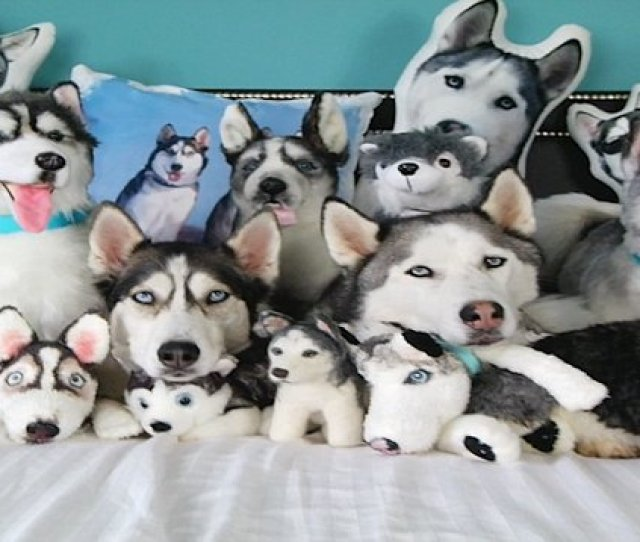 The Secret Behind Siberian Huskies Piercing Blue Eyes Daily Mail Online