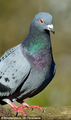 The fish's been compared to a pigeon due to its small eyes and rounded head