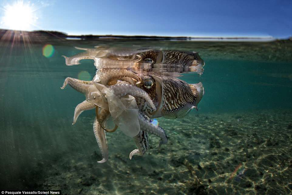 'The cuttlefish touched and carried the condom using its mouth. I had the feeling she was curious to touch a different material,' the 48-year-old said